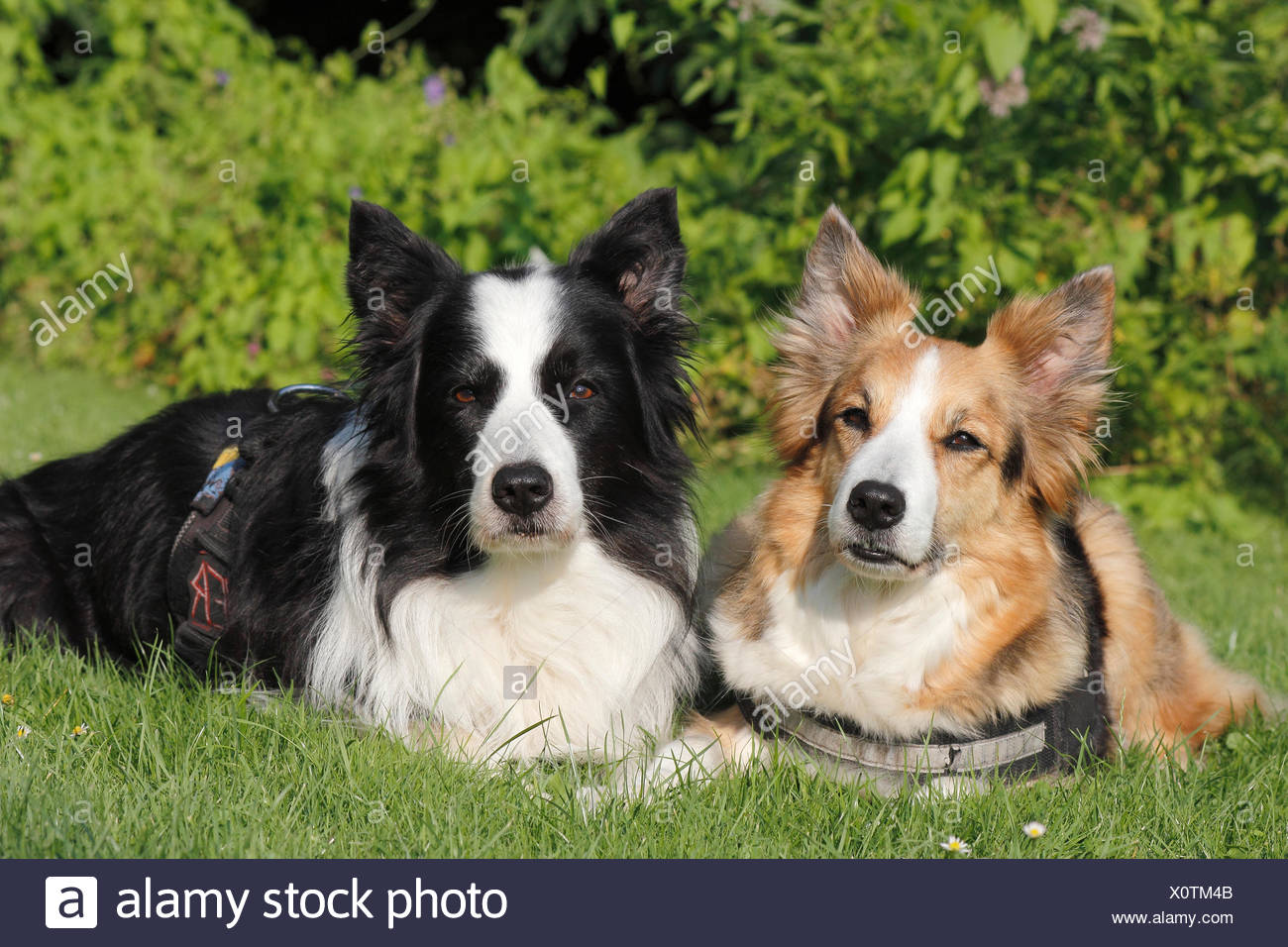 two border collies lieing in grass next to eachother Stock