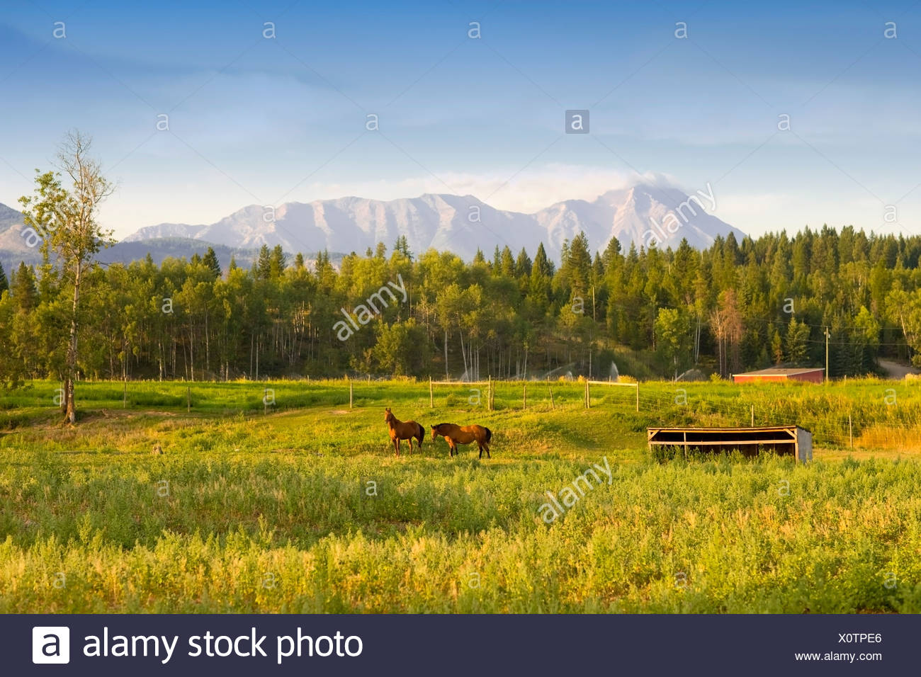 Horses, Jaffrey, British Columbia, Canada, mountain, morning Stock Photo