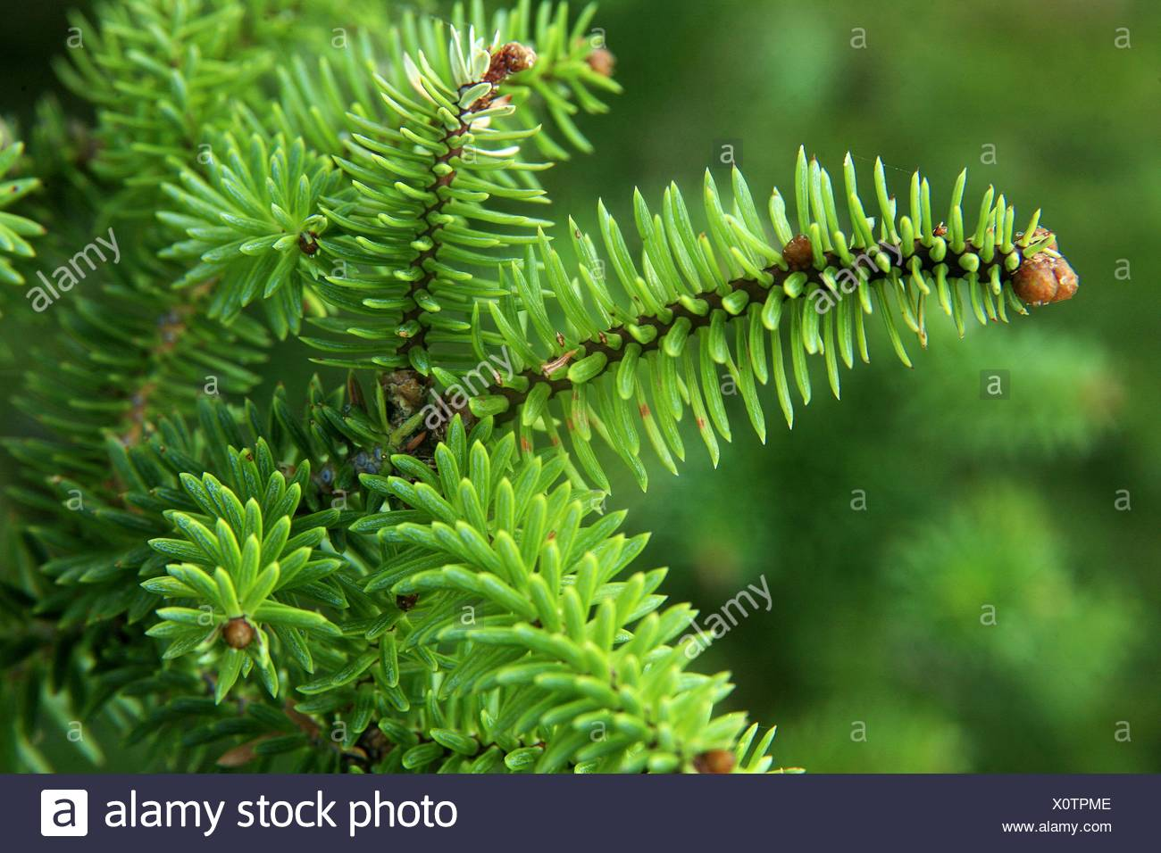 Abies Pinsapo Stock Photos Abies Pinsapo Stock Images Page 3 Alamy