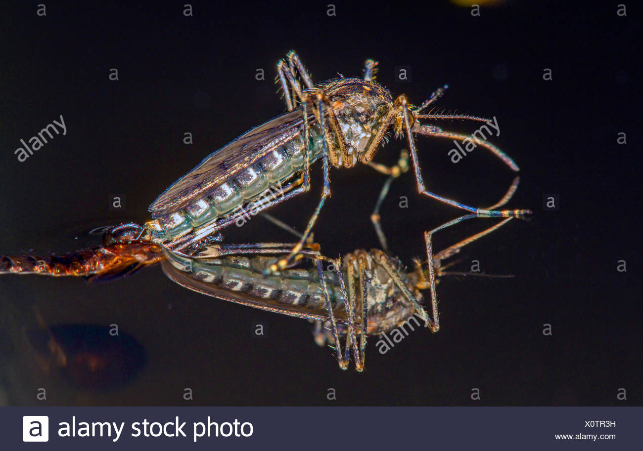 Banded house mosquito, Banded mosquito, Ring-footed gnat (Culiseta annulata, Theobaldia annulata), hatches from the , Germany, Bavaria - Stock Image