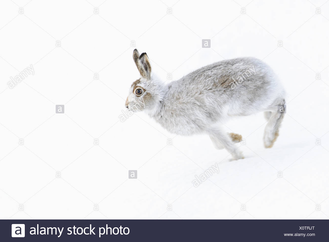 Mountain Hare (Lepus timidus) adult, in winter coat, running on snow covered hillside, Grampian Mountains, Highlands, Scotland, - Stock Image