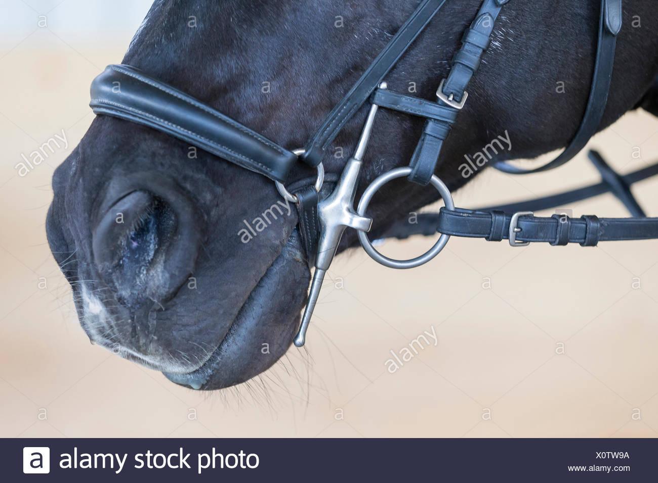 Warmblood Horse Black adult snaffle cheeks - Stock Image