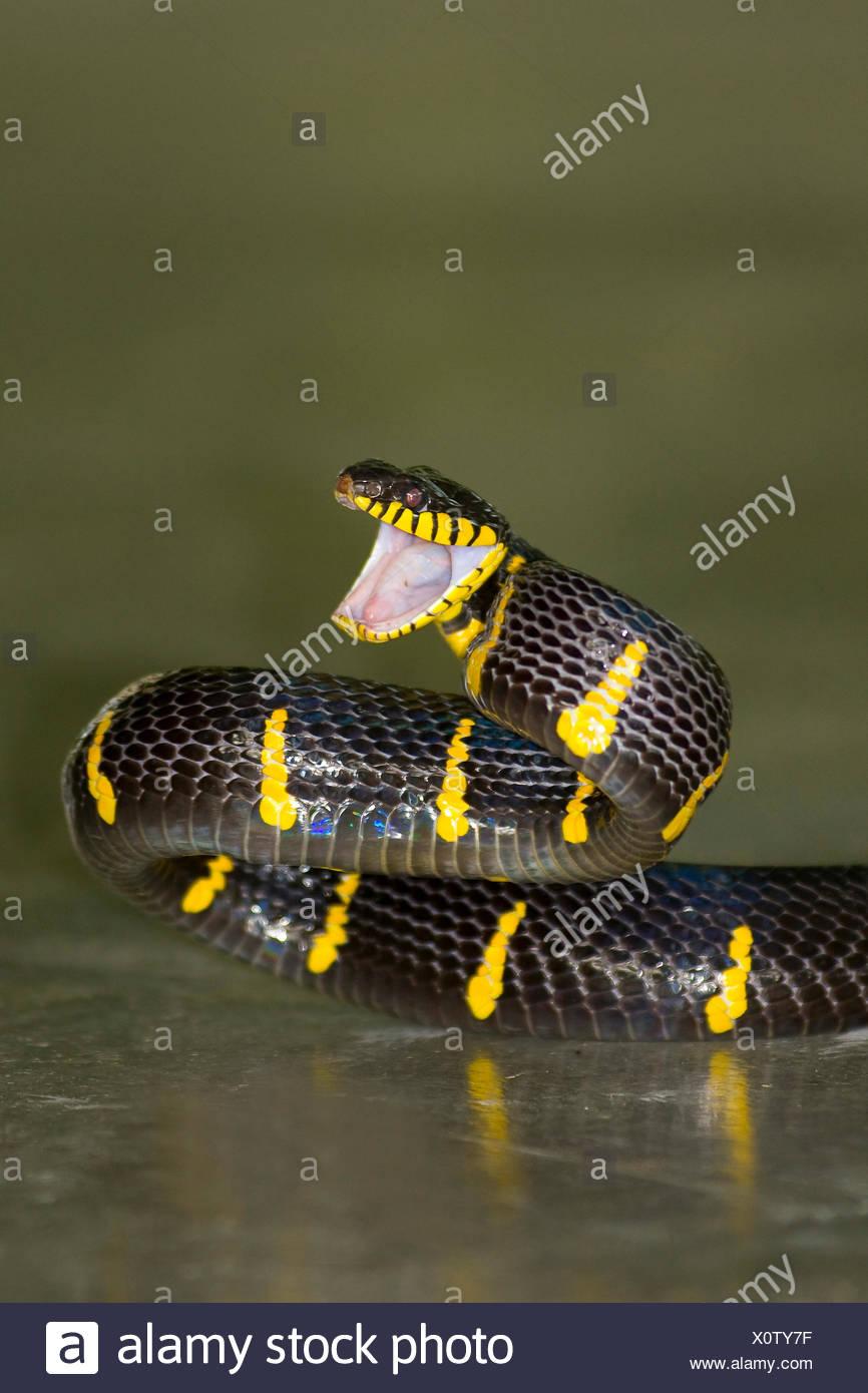 aggressive menacing Boiga Colubridae dendrophila Elapidae toxic poison adder poisonous snake viper critter mangrove adder adde - Stock Image