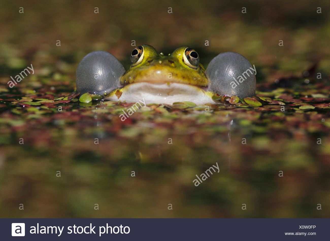 Croaking green frog in a ditch with duckweed - Stock Image