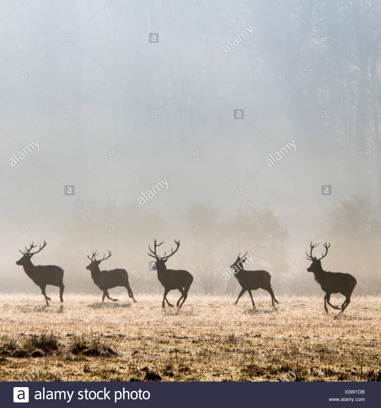 Row of deer running in park, Berkshire, England, UK - Stock Image