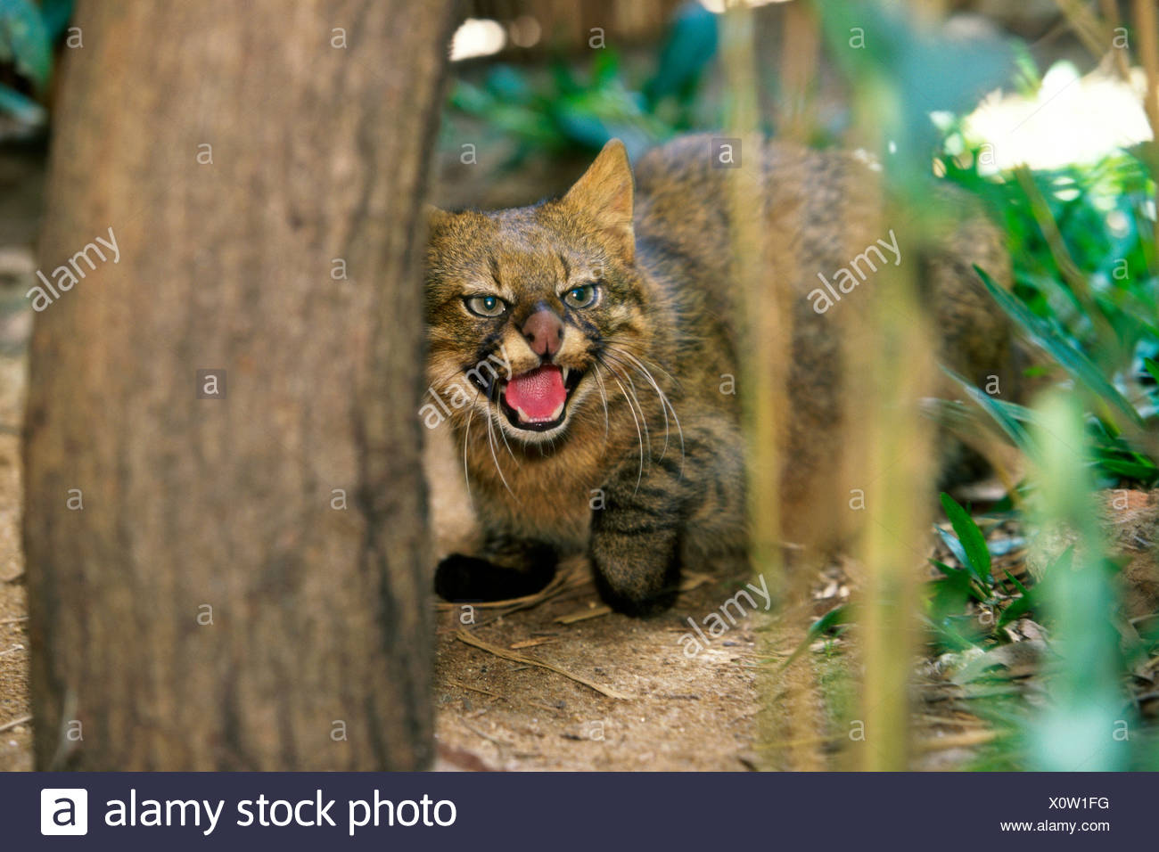 Pampas Cat snarling (Felis colocolo) Stock Photo