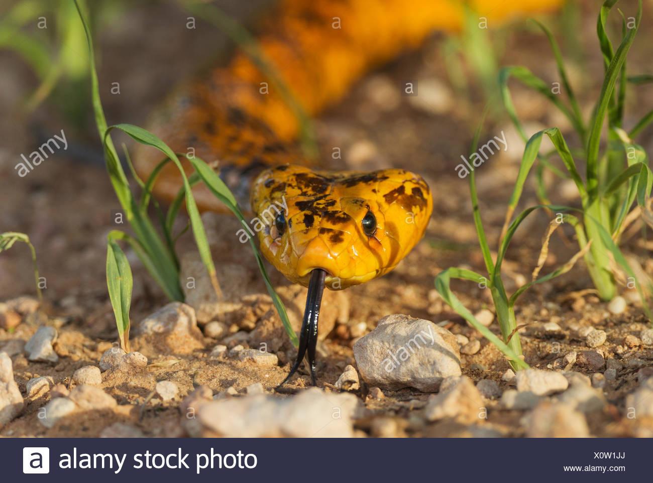 Cape Cobra (Naja nivea), sticking out tongue, during the rainy season in green grass, Kalahari Desert - Stock Image