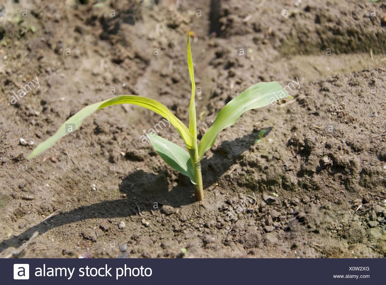 corn plant Stock Photo