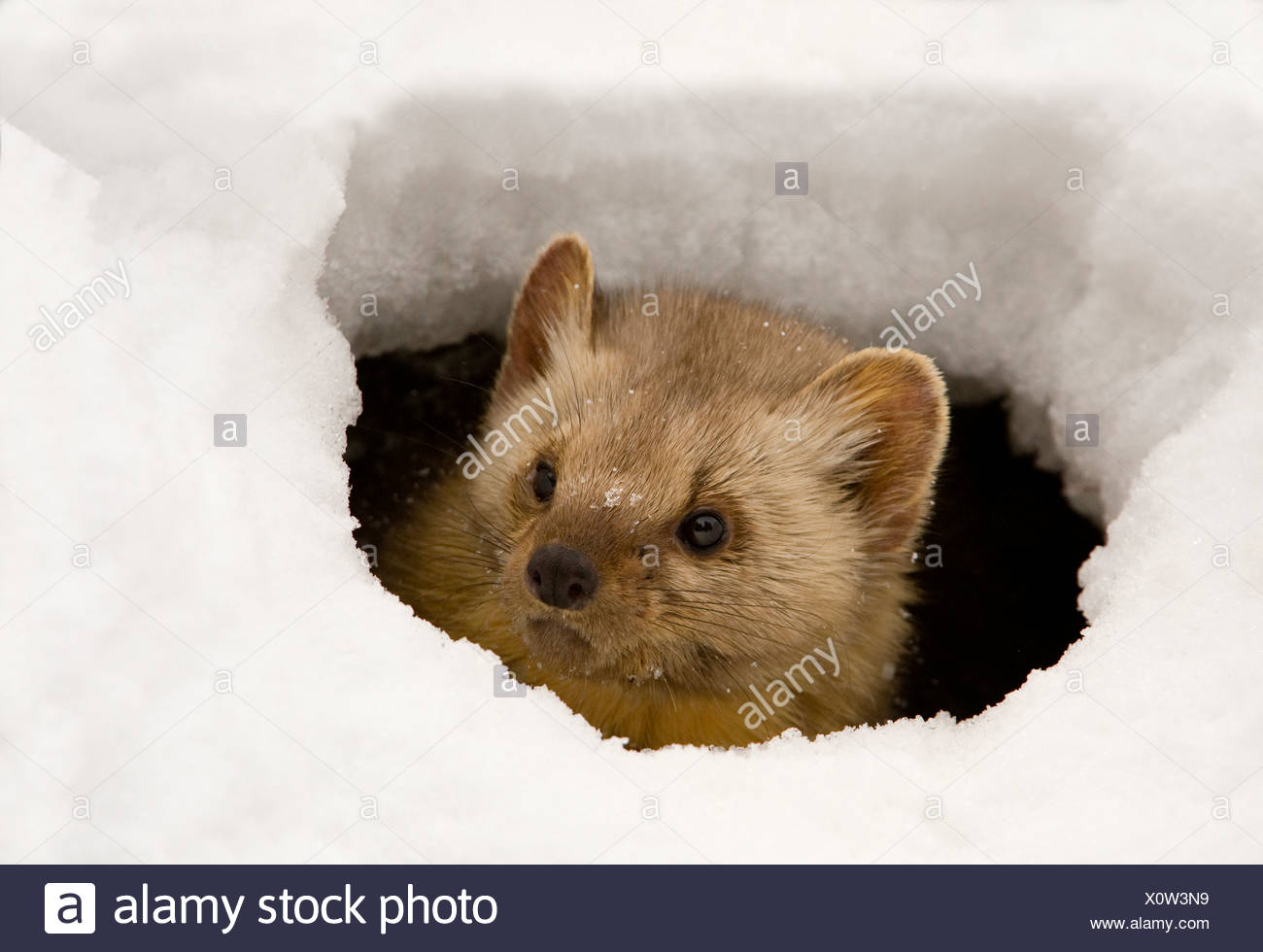 Pine marten (Martens americana) peeking from an ice hole - Stock Image