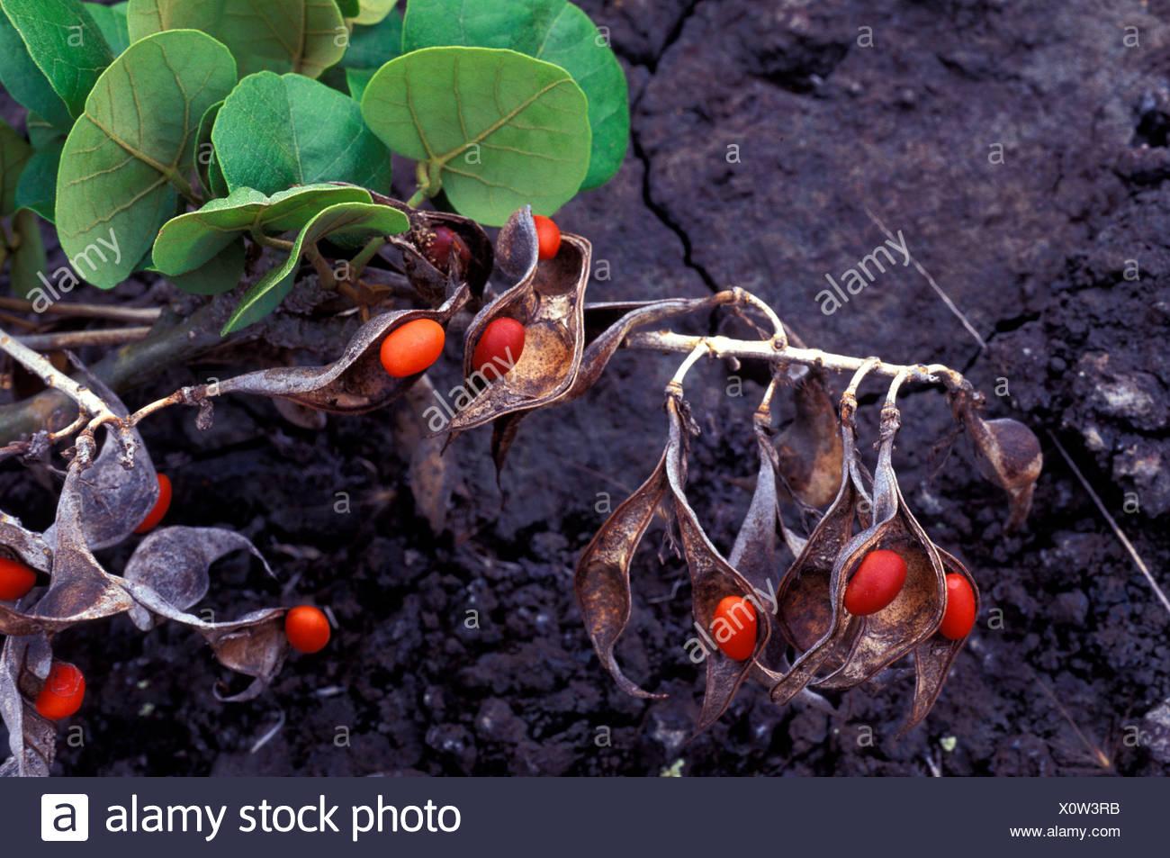 Wiliwili erythrina sandwicensis is a native hawaiian plant the wiliwili erythrina sandwicensis is a native hawaiian plant the seeds are used in making leis kaupulehu izmirmasajfo