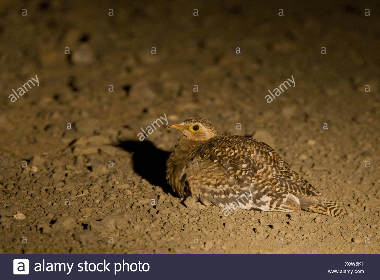 doublebanded sandgrouse photographed using spot - Stock Image