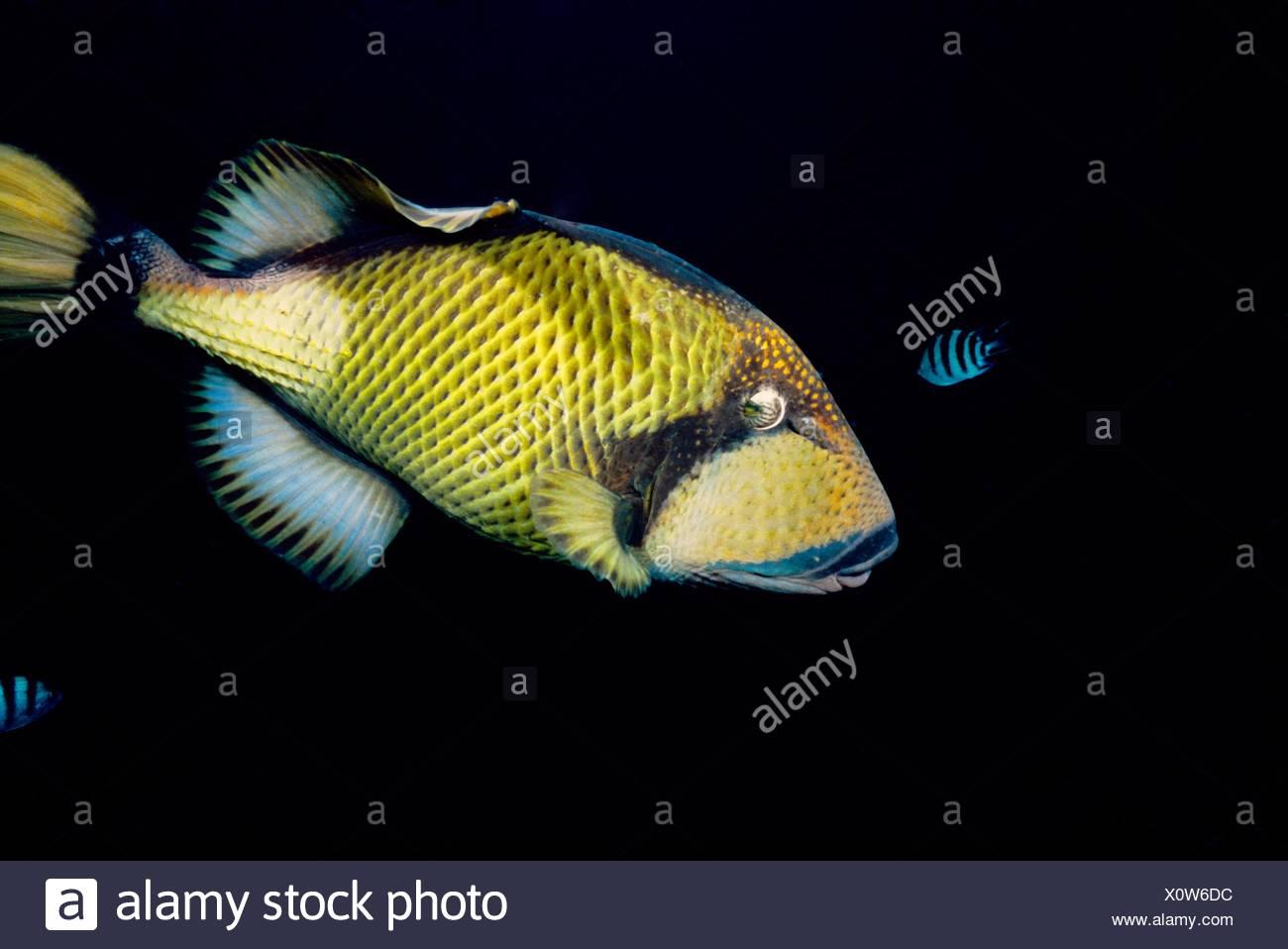 Titan triggerfish Balistoides viridescens  Mauritius Island  Republic of Mauritius  Southwestern Indian Ocean - Stock Image