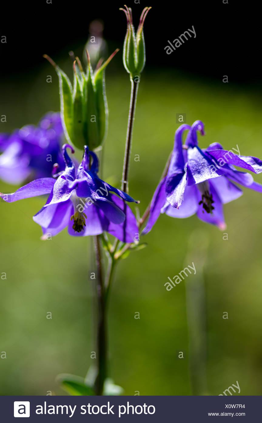 Violett aquilegia flower - Stock Image