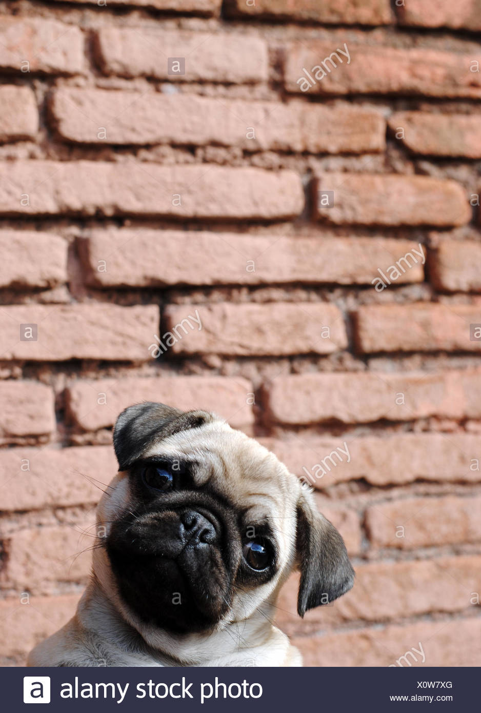 Portrait of pug against brick wall - Stock Image