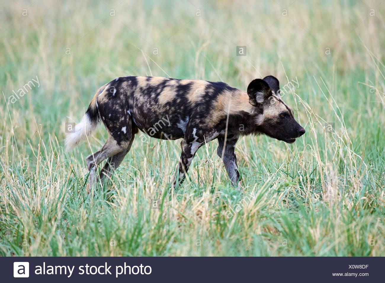 African wild dog (Lycaon pictus) walking in savanna. Hwange National Park, Zimbabwe. Stock Photo