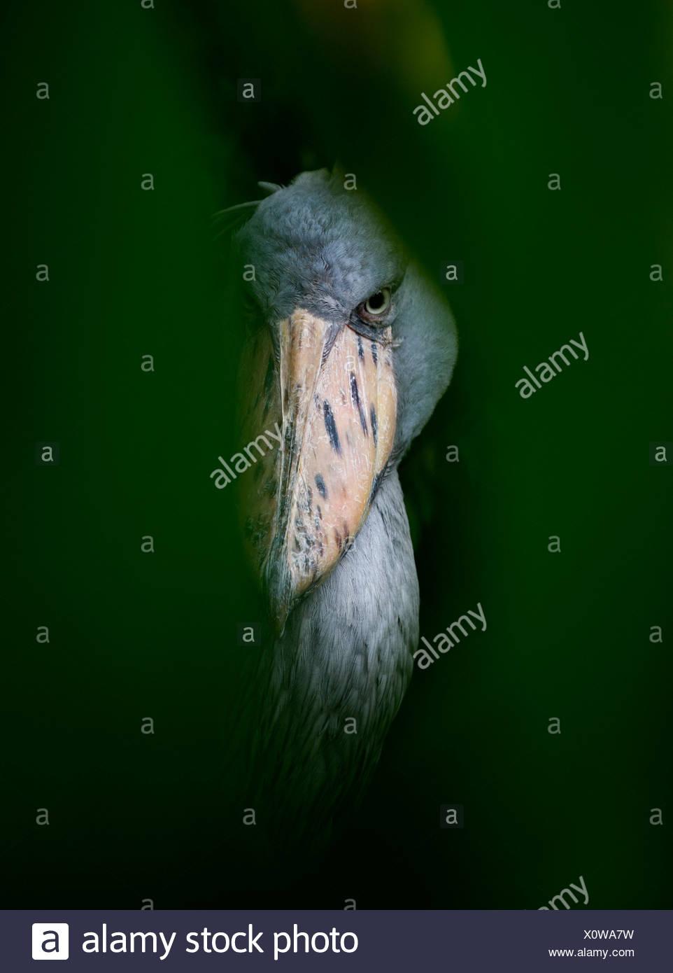 Shoebill Stork(Balaeniceps rex) Captive - Stock Image