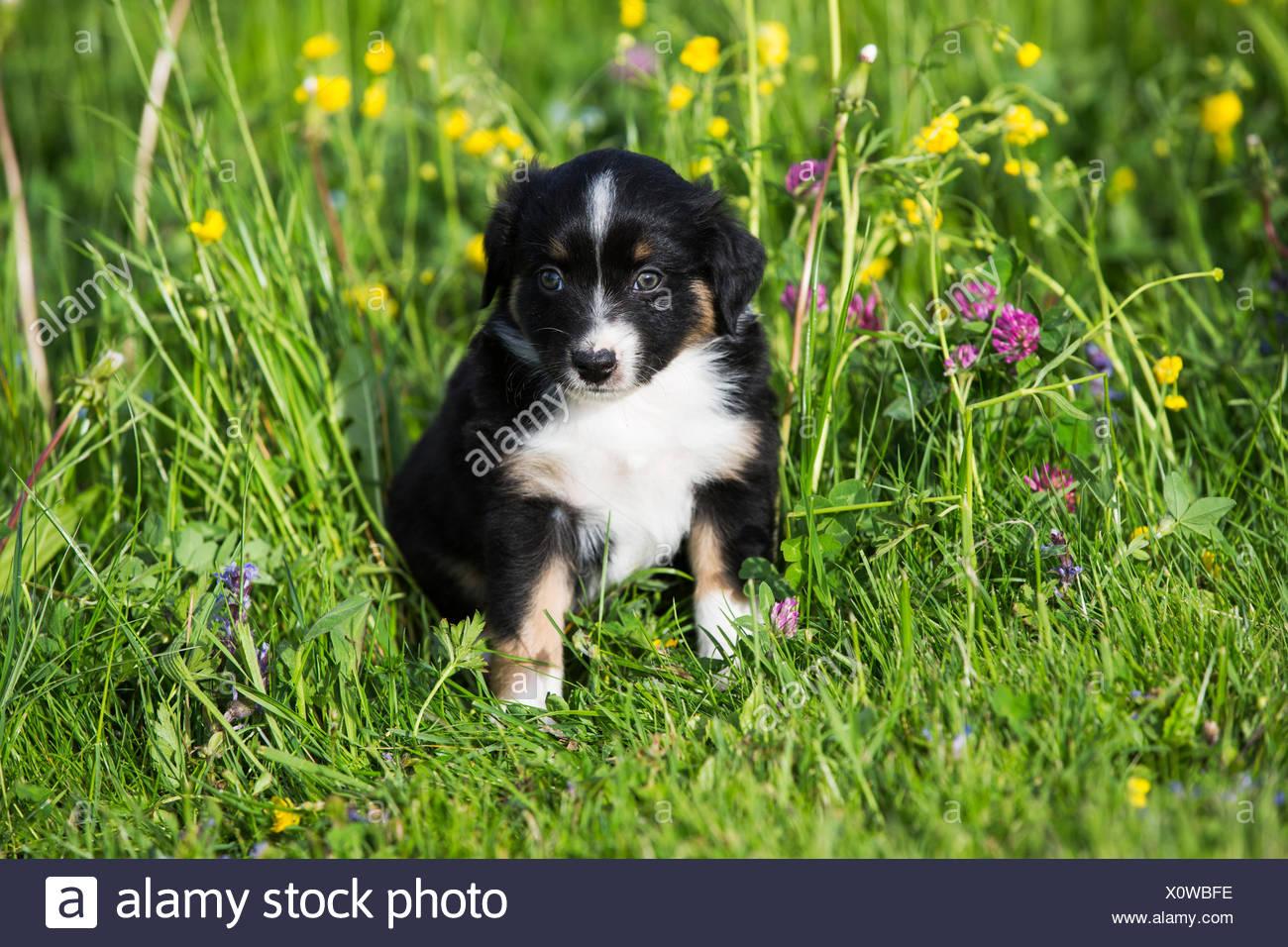 Miniature American Shepherd Or Miniature Australian Shepherd Or Mini Aussie Puppy Black Tri Sitting In Flower Meadow Stock Photo Alamy