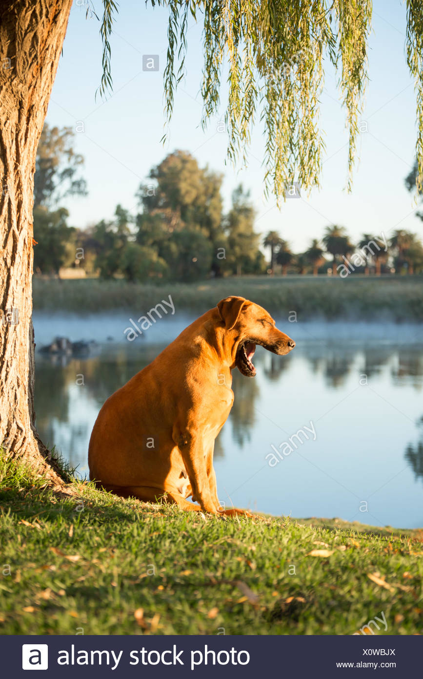 Boerboel dog by river yawning - Stock Image