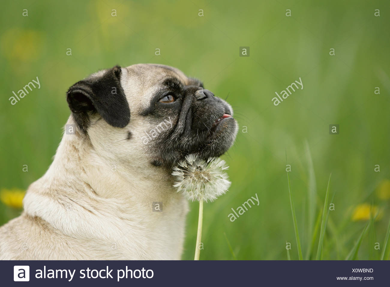 mops with dandelion - Stock Image