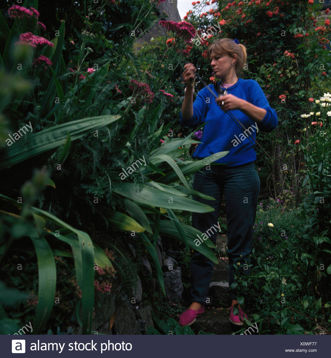 Woman dead-heading perennials in a garden - Stock Image