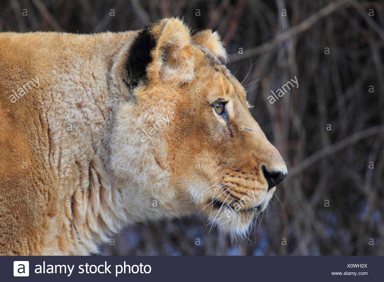 Asiatic lion (Panthera leo persica goojratensis), portrait of a lioness - Stock Image