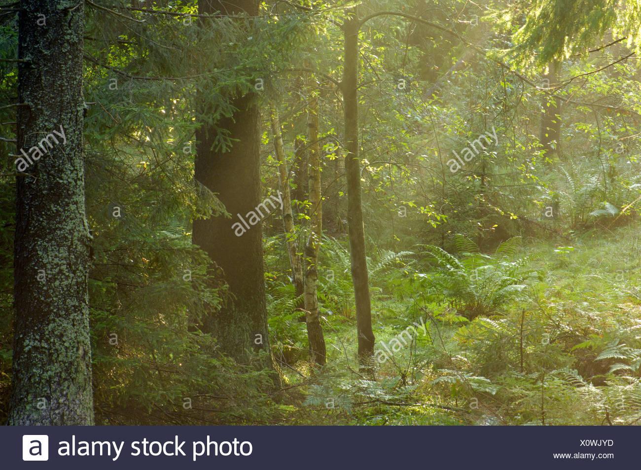 Spruce forest Ekero Sweden - Stock Image