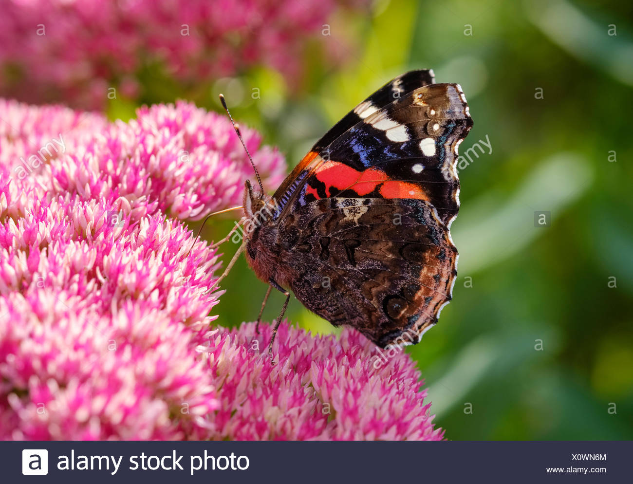 Red Admiral (Vanessa atalanta) on blossom of Stonecrop (Sedum), Bavaria, Germany - Stock Image