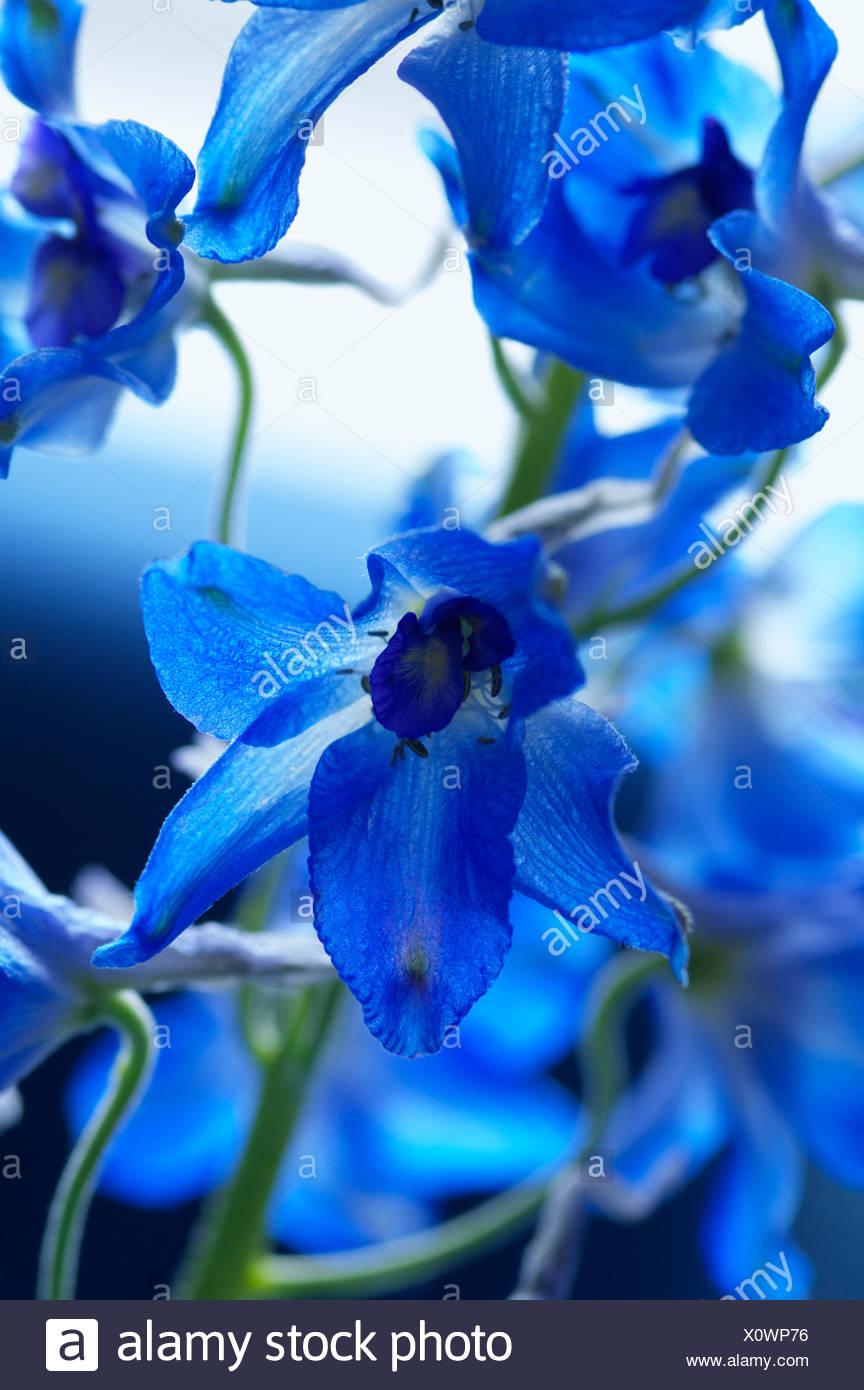 Blue iris - Stock Image
