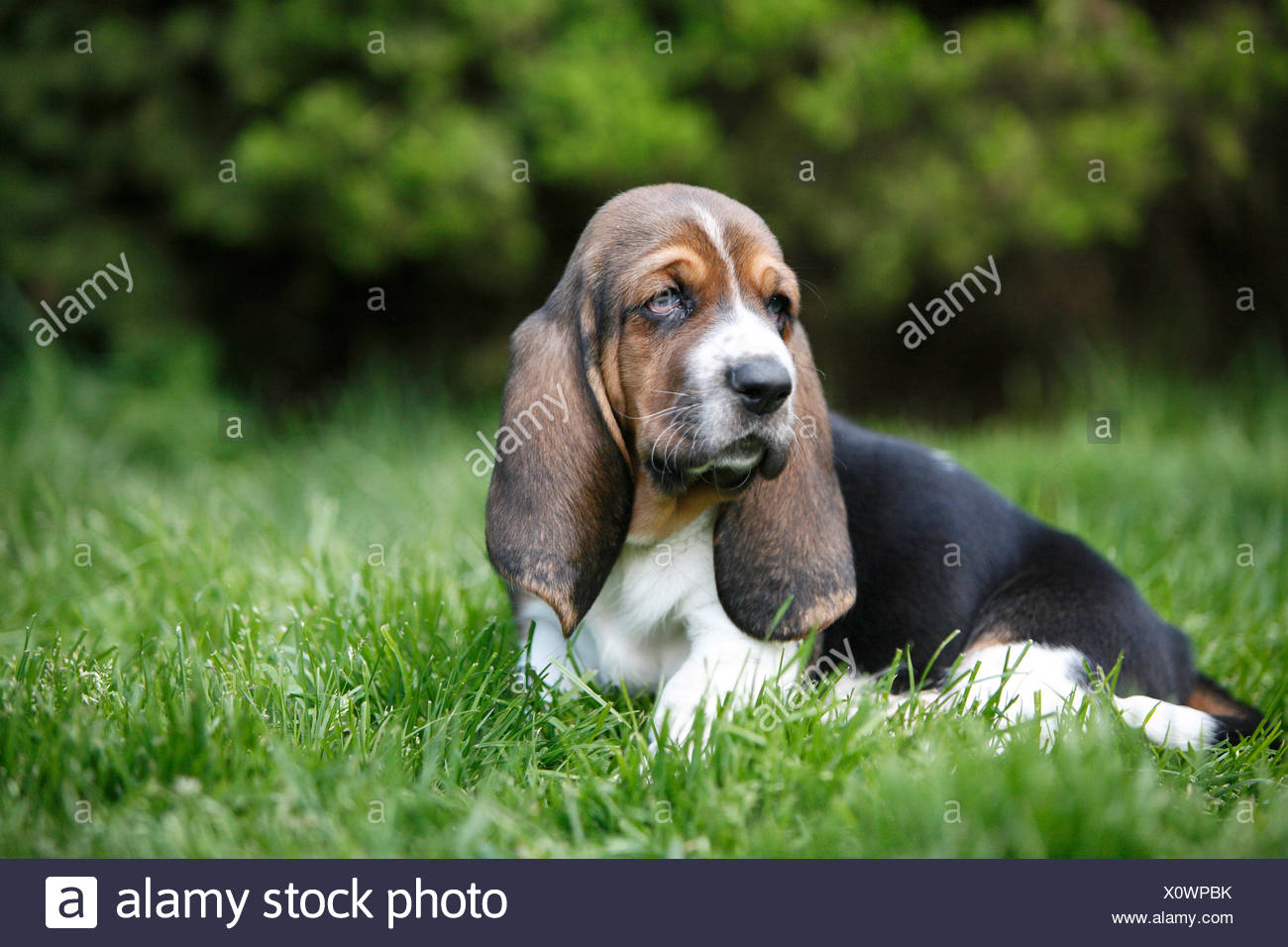 Basset Hound (Canis lupus f. familiaris), puppy sitting in a meadow, Germany - Stock Image