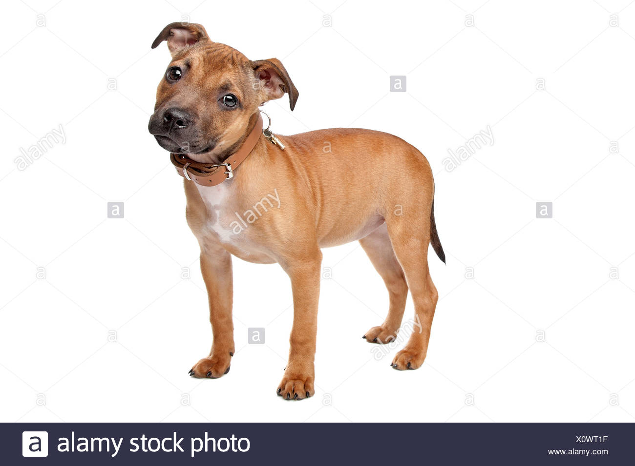 Staffordshire Bull Terrier puppy in front of a white background - Stock Image