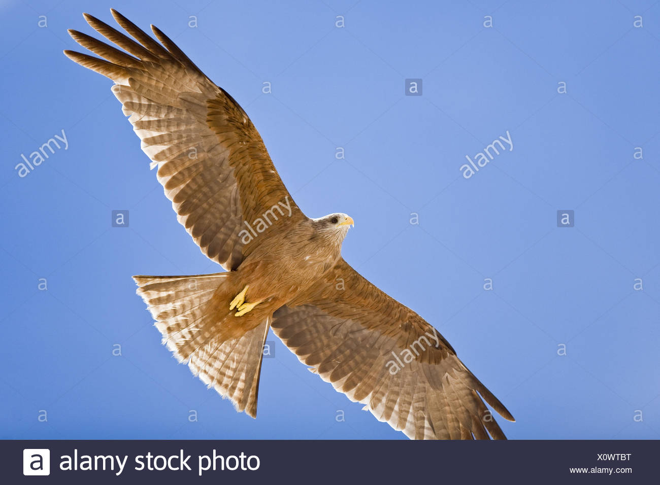 Africa, Namibia, bird prey, flight, from below, - Stock Image