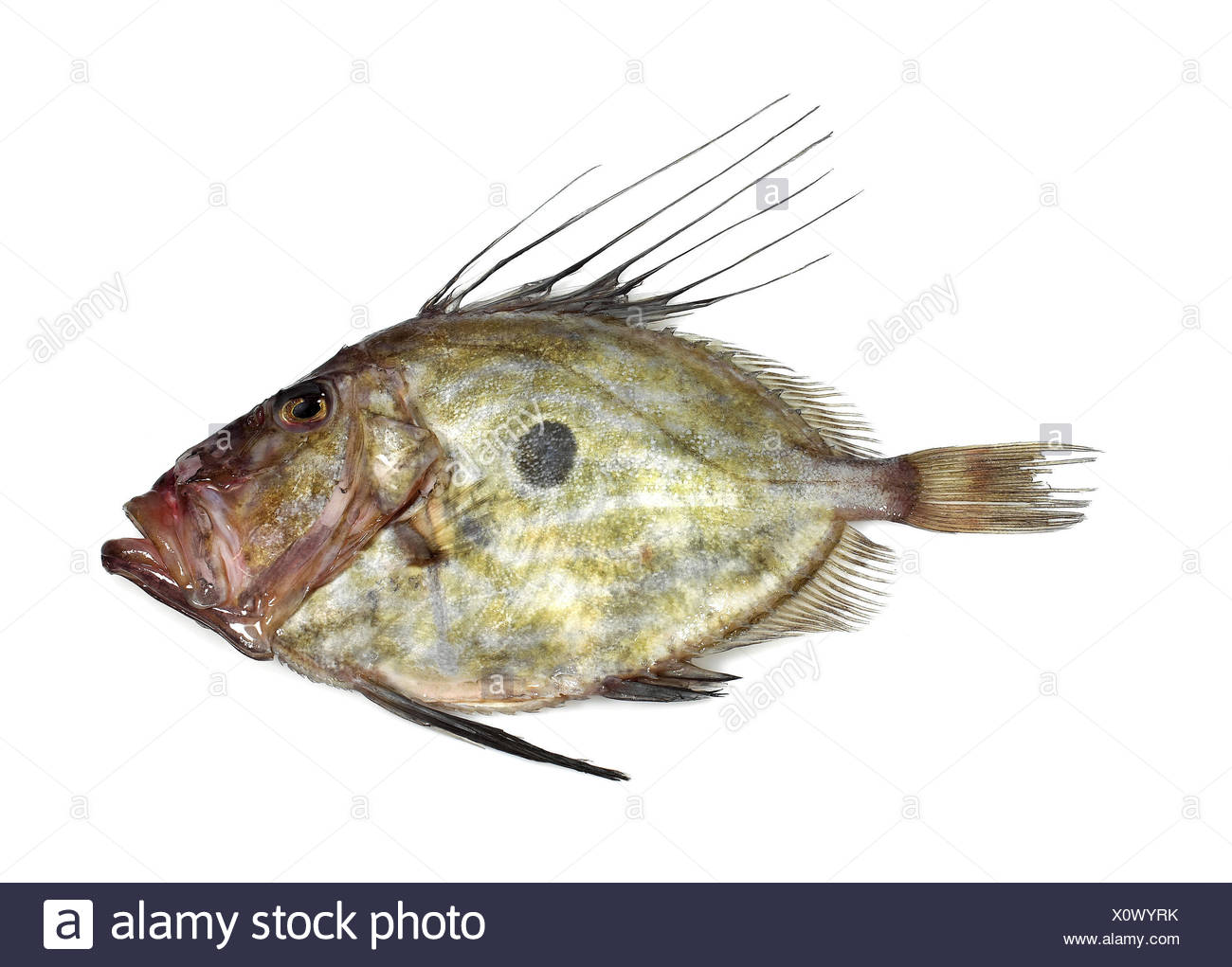 More freshly Peter's fish,John Dory,Zeus faber,background knows, - Stock Image