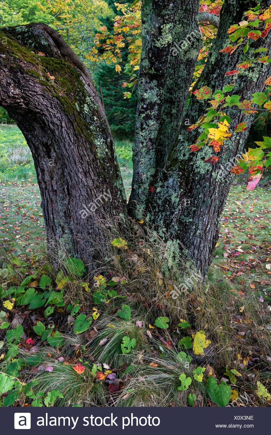 Autumn tree trunk detail, Maine - Stock Image