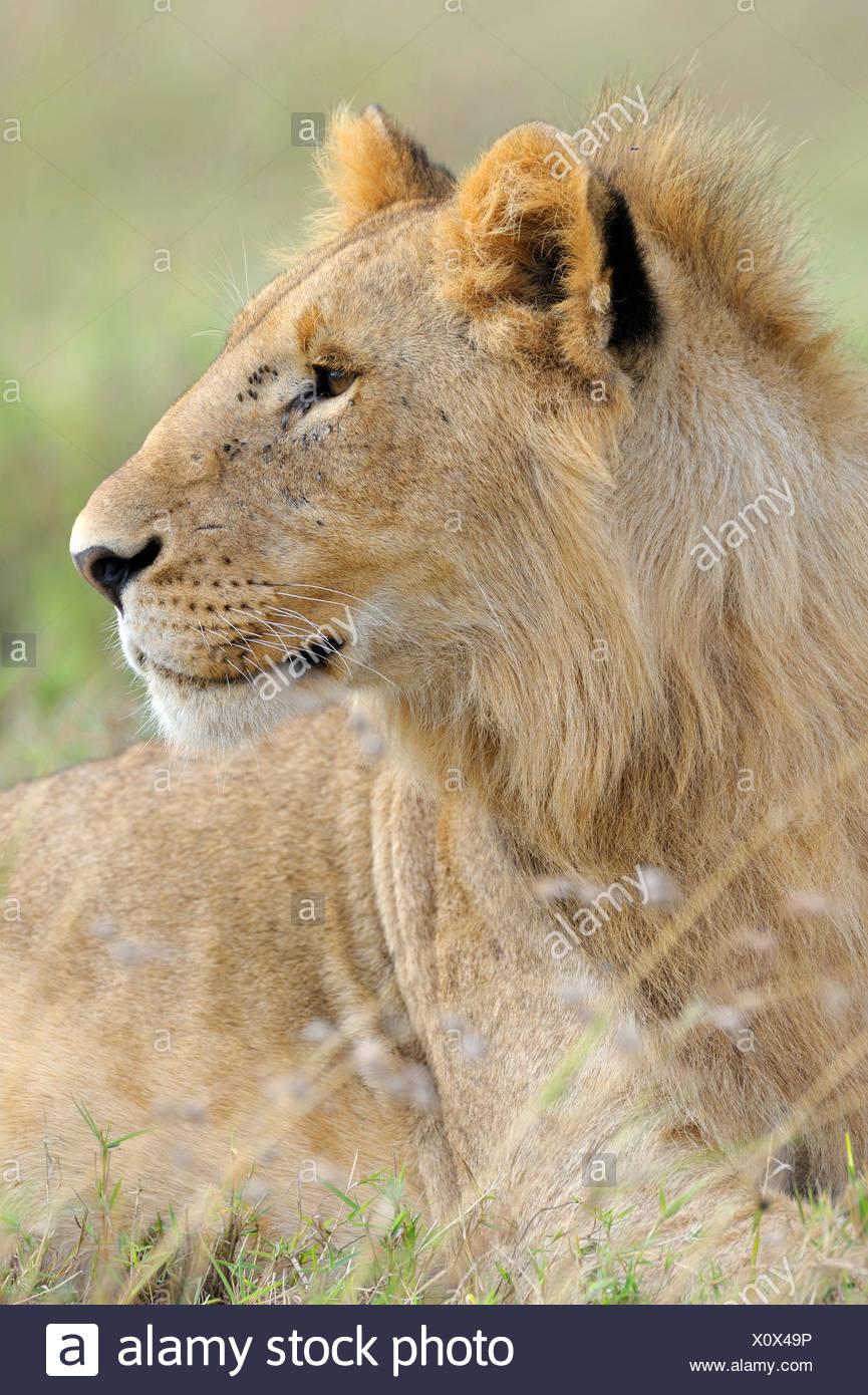 Lion (Panthera leo), young, portrait, Masai Mara National Reserve, Kenya, Africa - Stock Image