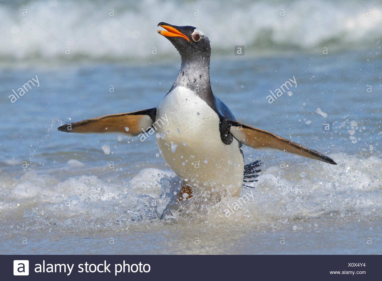 Gentoo Penguin (Pygoscelis papua) along the shoreline in the Falkland Islands. - Stock Image