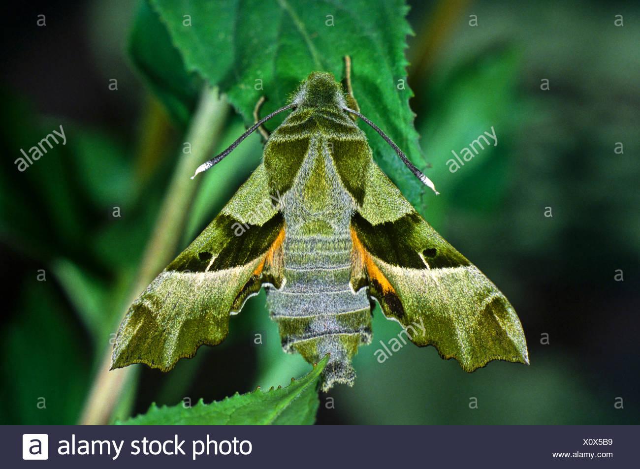 Sưu tập Bộ cánh vẩy  - Page 45 Willowherb-hawk-moth-proserpinus-proserpina-fam-hawk-moths-X0X5B9
