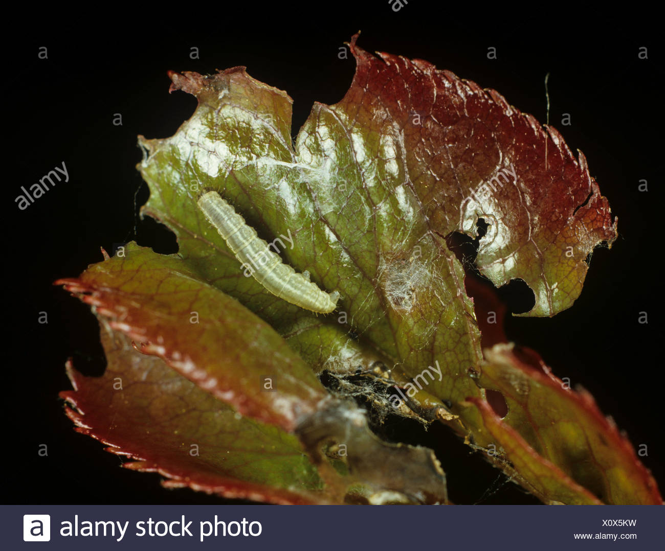 Winter moth Operophtera brumata and damage to young rose leaf - Stock Image
