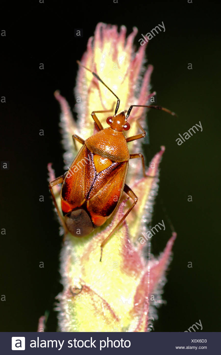 Capsid bugs (Deraeocoris ruber), brown morph on a grass ear, Germany - Stock Image