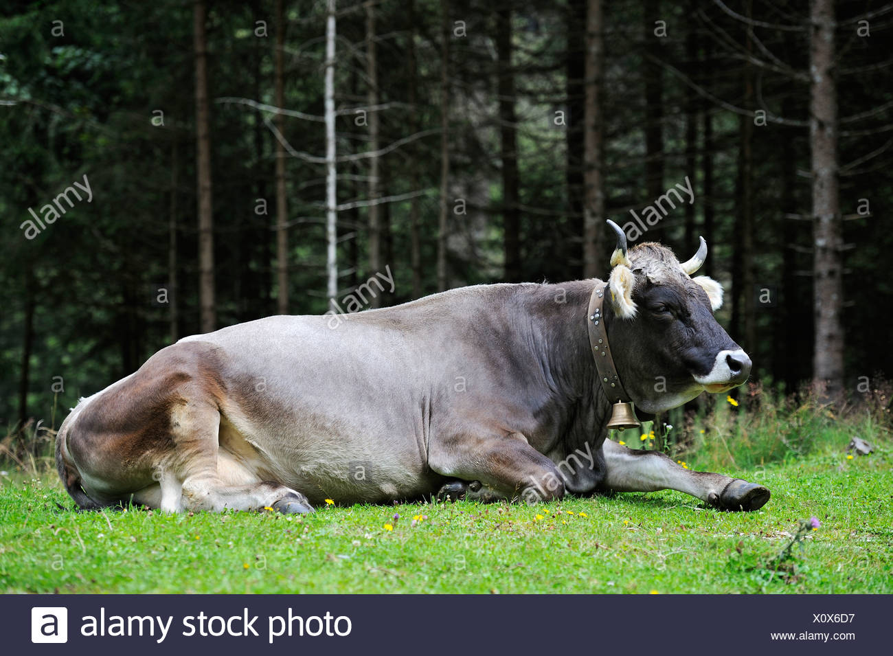 Tyrolese Grey Cattle (Grigio Alpina), Stubaital Valley, Tyrol, Austria,  Europe