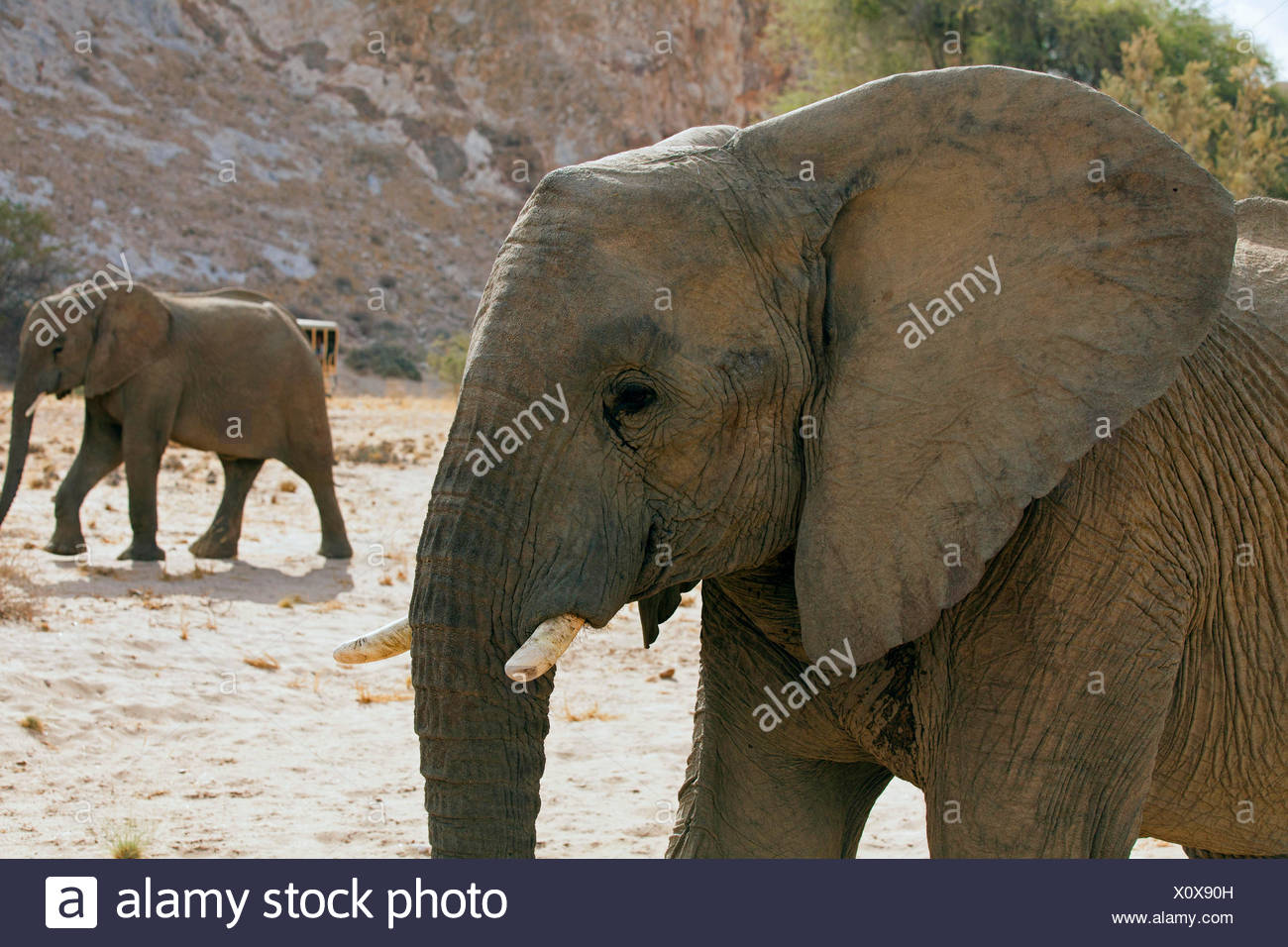 Desert elephant, Desert-dwelling elephant, African elephant (Loxodonta africana africana), desert elephants in dry river bed of the Huab, Namibia, Damaraland Stock Photo