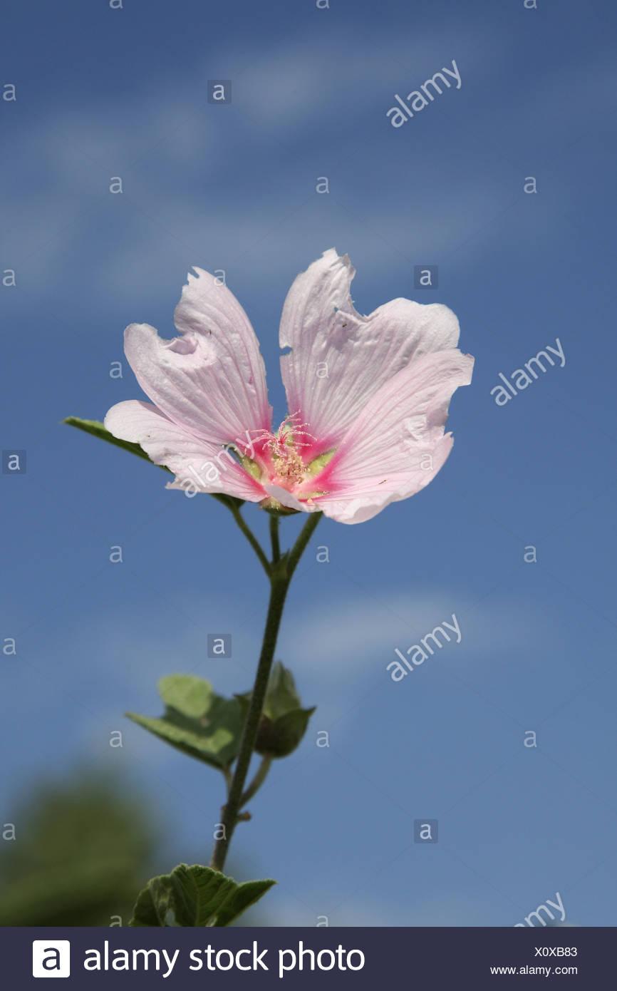 Bush mallow, bush mallow (Lavatera olbia), flower - Stock Image