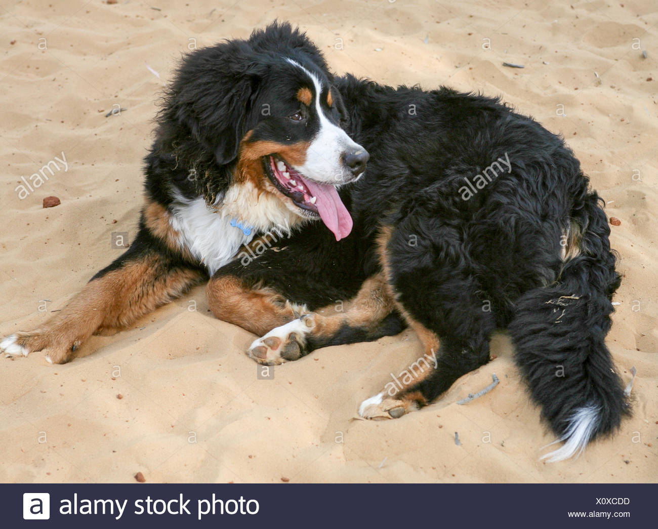 The Bernese Mountain Dog, called in German the Berner Sennenhund, is a large-sized breed of dog, one of the four breeds of Senne - Stock Image