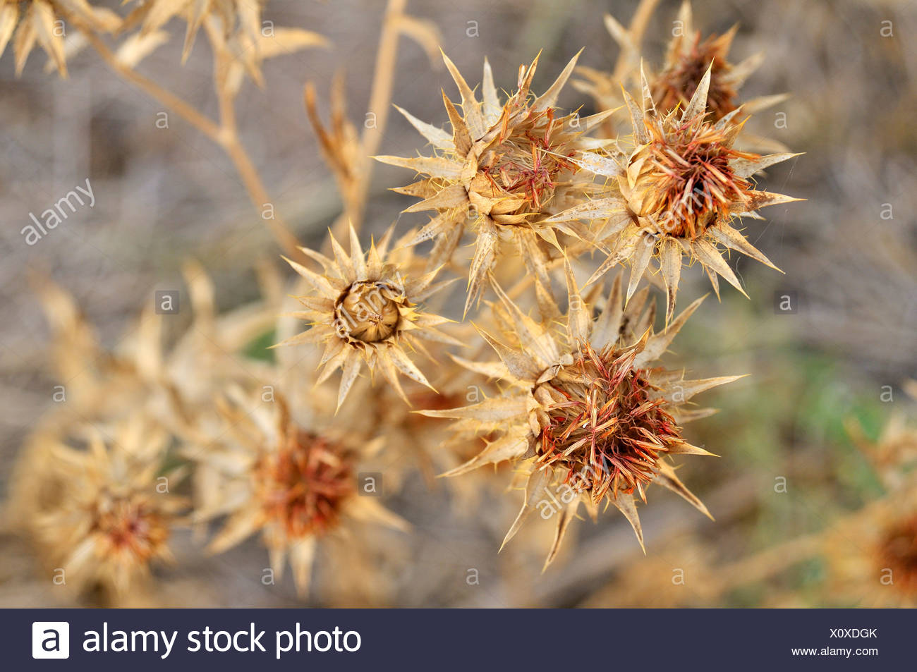 Safflower (Carthamus tinctorius), grown large-scale by the major landowners at the expense of the Chaco vegetation to extract - Stock Image
