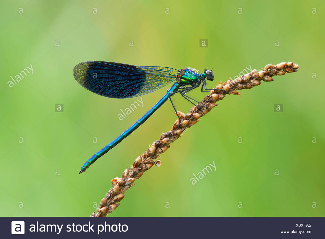 Banded Demoiselle (Calopteryx splendens), male, Reuss Valley, Switzerland Stock Photo