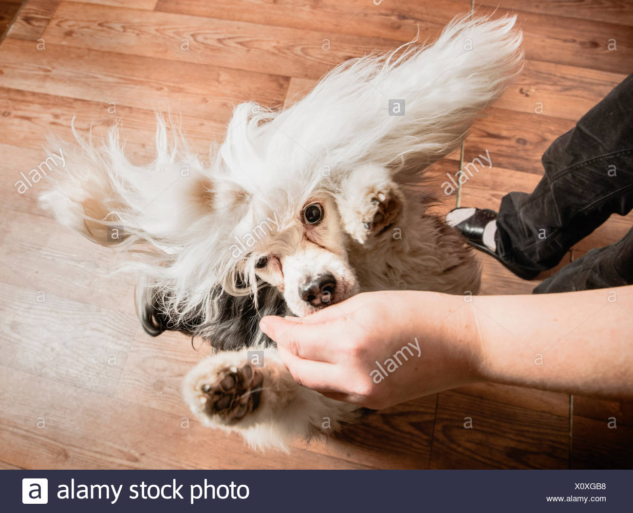 Dog jumping up to reach treat in owners hand, overhead view - Stock Image