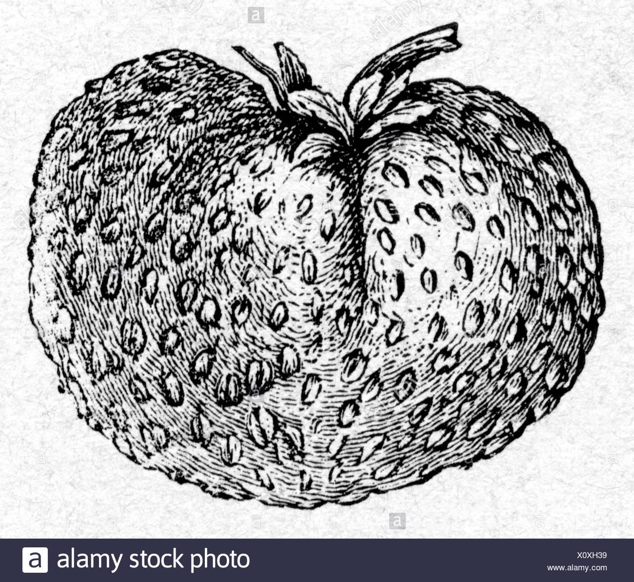botany, Strawberry, (Fragaria), strawberry 'Komet', breeding by Gottfried Goeschke, Koethen, wood engraving, 1884, , Additional-Rights-Clearances-NA - Stock Image