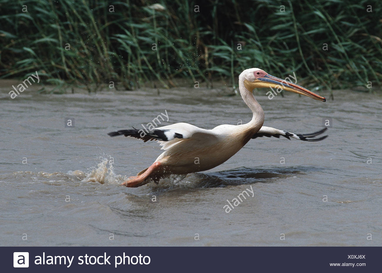 eastern white pelican (Pelecanus onocrotalus), departing from water, Senegal, Djoudj NP - Stock Image