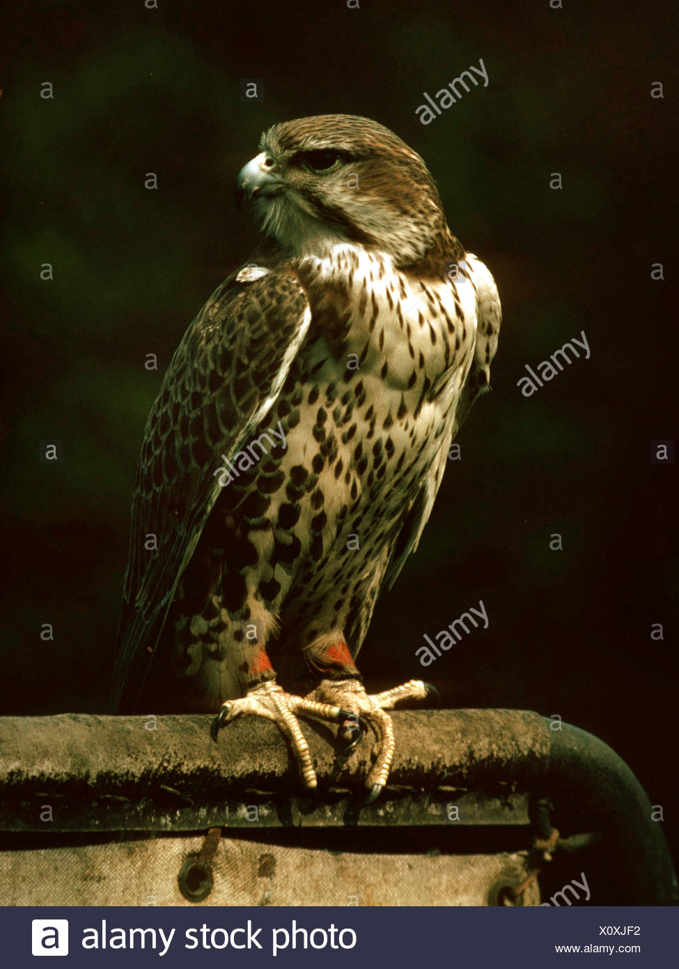 lanner falcon (Falco biarmicus), sitting on a bar - Stock Image