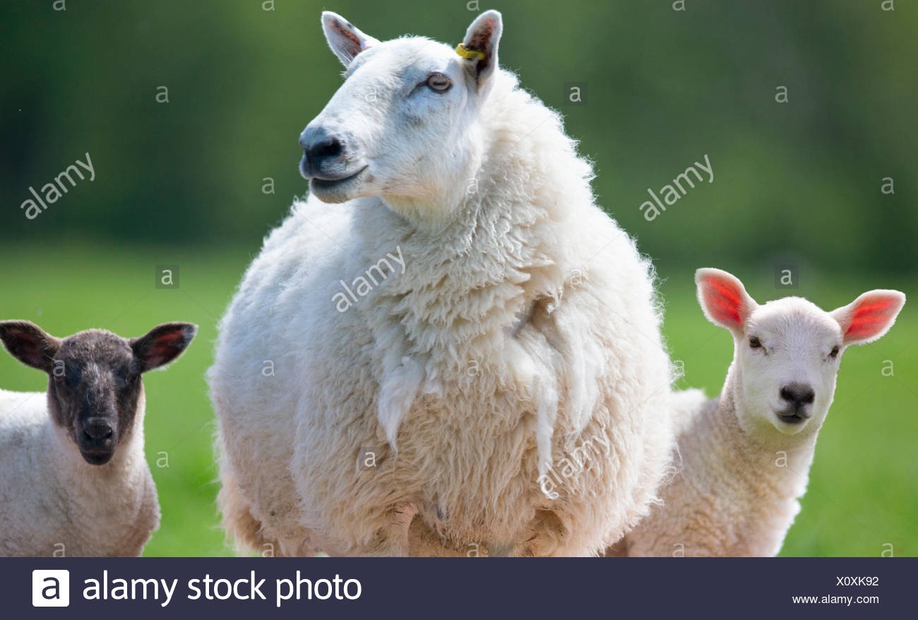 Portrait sheep and lambs - Stock Image