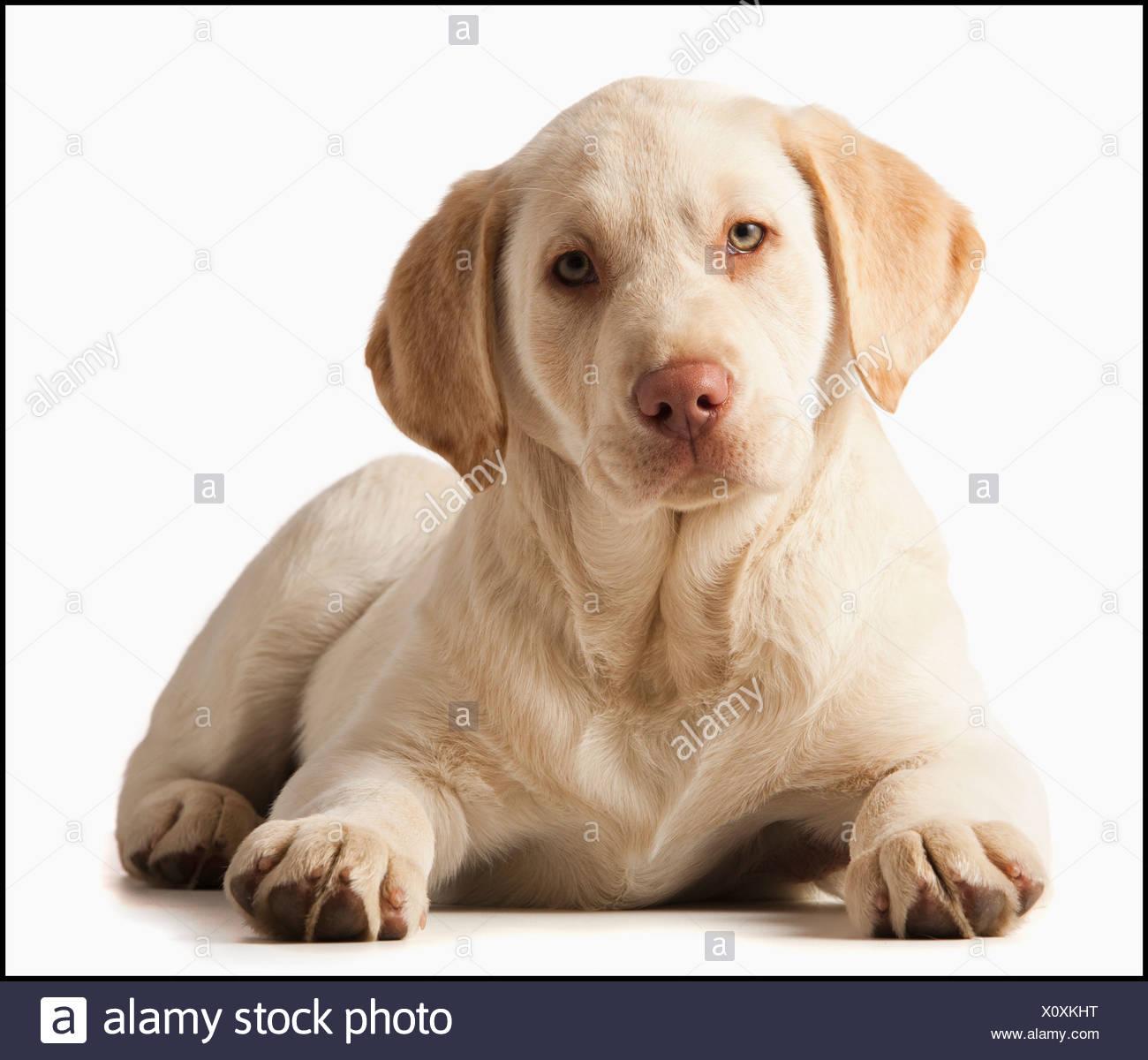 Studio portrait of Yellow Labrador Retriever - Stock Image